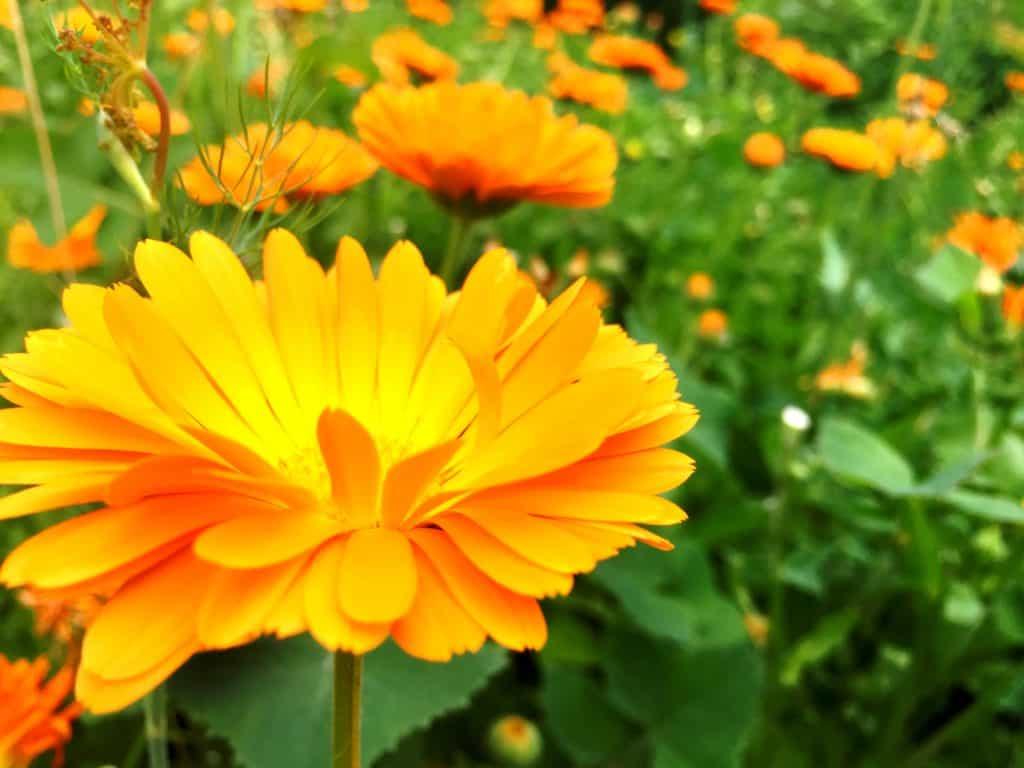 Ringelblume-Pflanzenportrait