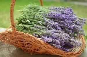 Ein Korb voll frisch geernteter Lavendelblüten