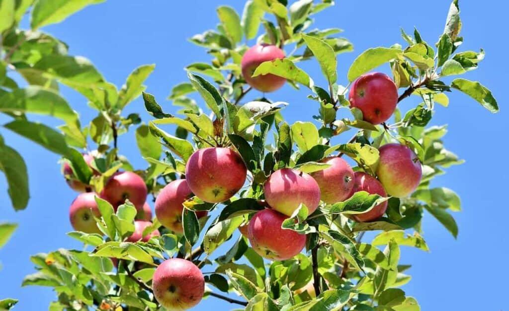 Rote Äpfel im Apfelbaum