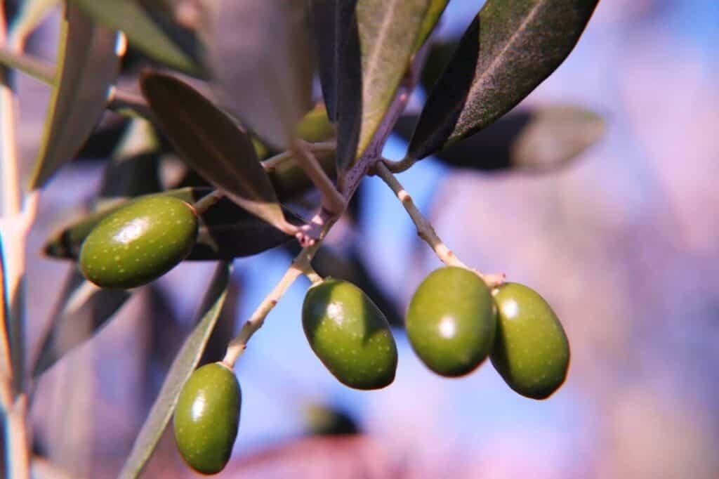Fünf grüne Oliven an einem belaubten Olivenzweig