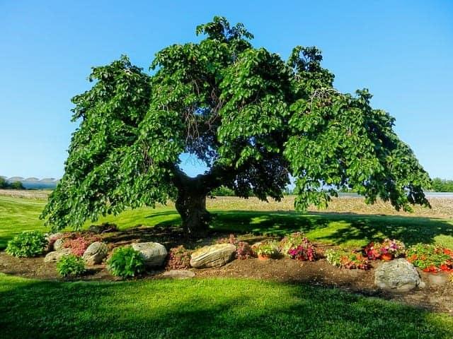 Alleinstehende Ulme auf einer Wiese umringt von Steinen und Blumen