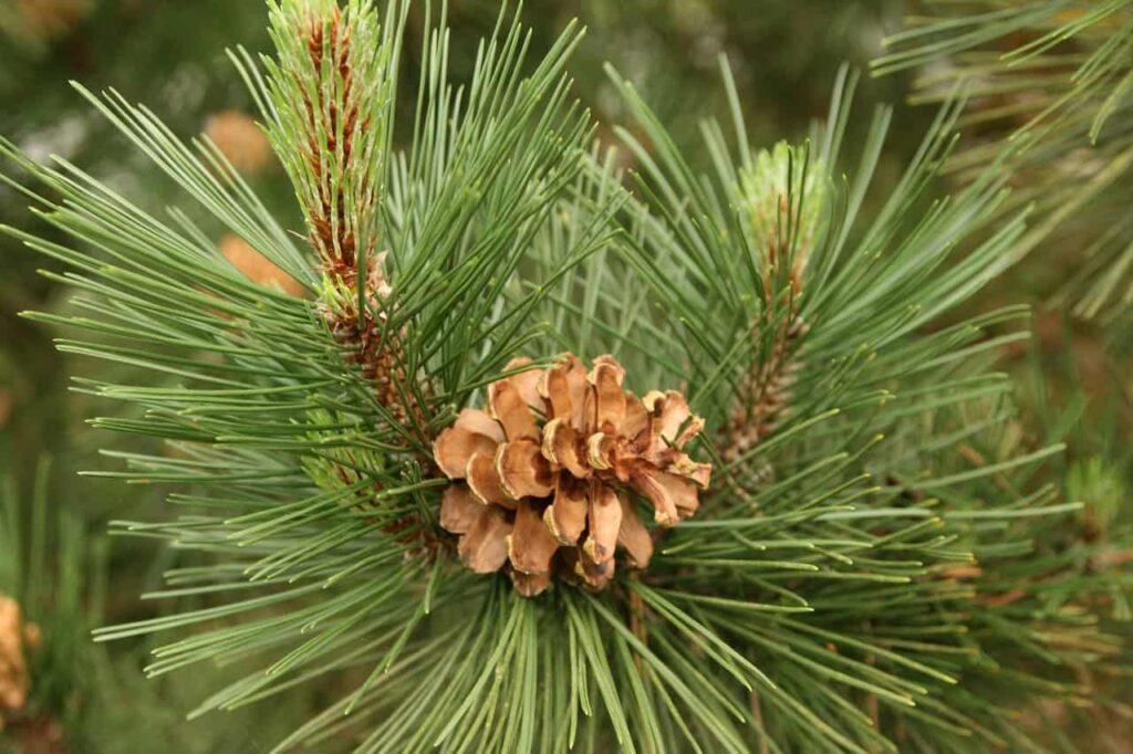 Zweig der Waldkiefer mit Nadeln und Zapfen